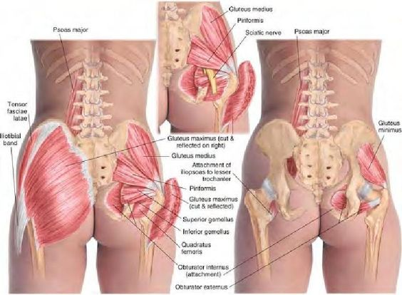 Glutei group of muscles