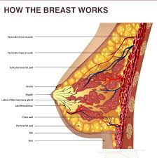 composition of breasts